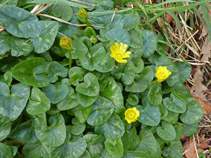 Services lesser celandine is a low growing hairless perennial plant with fleshy dark green heart shaped leaves flowers between february and may with a single mightylinksfo
